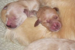 1_puppiesbiggirlnewborn3