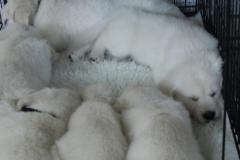 puppies7wkscrate3