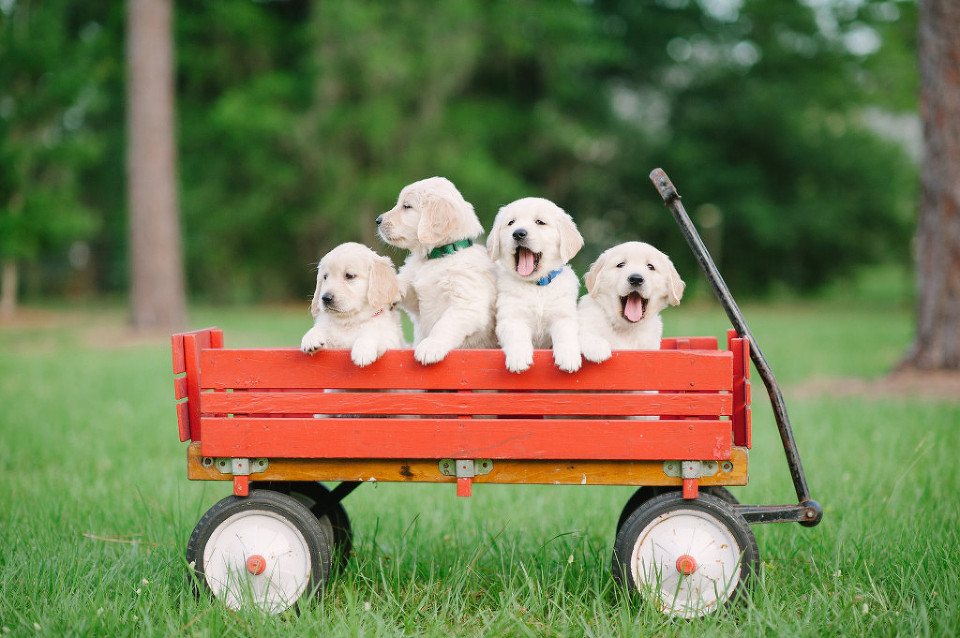 wagon puppies